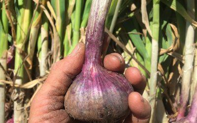 garlic…gARlic… GARLIC!!!