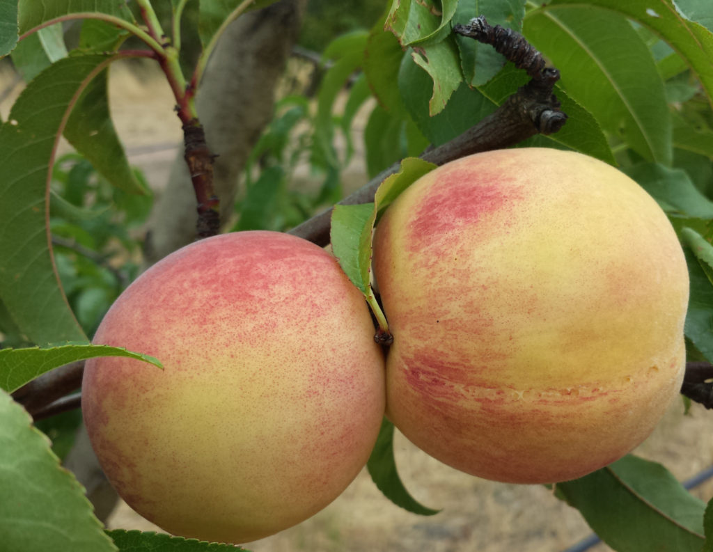 Fragar heritage peaches - perfect for the garden