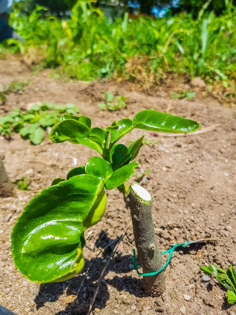 One of our baby citrus trees growing in the nursery